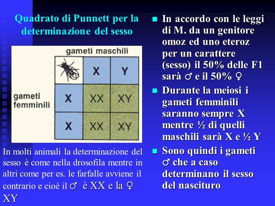 Determinazione cromosomica del sesso La differenza tra moscerini maschi e femmine, così come nella razza umana, viene spiegata tramite differenze nell