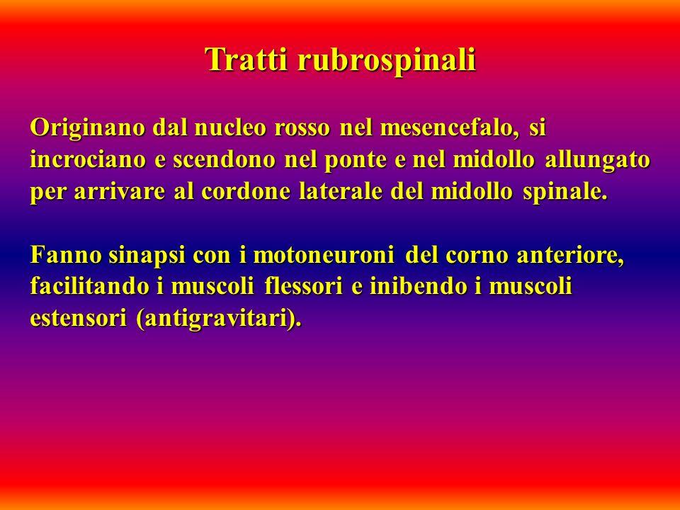 Tratti rubrospinali Originano dal nucleo rosso nel mesencefalo, si incrociano e scendono nel ponte e nel midollo allungato per arrivare al cordone lat
