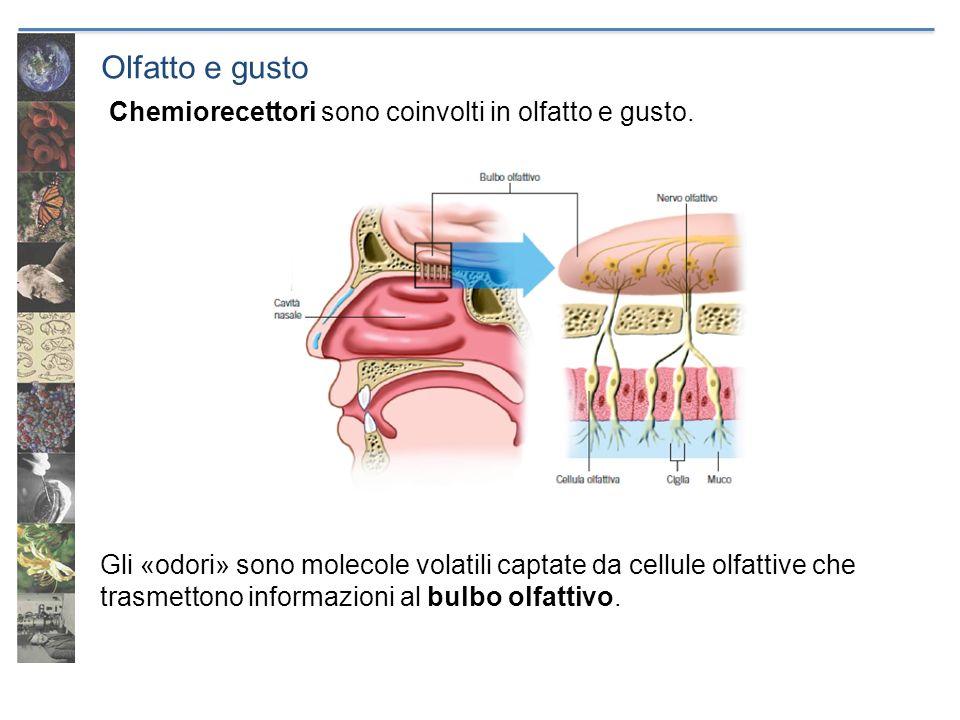 Olfatto e gusto Gli «odori» sono molecole volatili captate da cellule olfattive che trasmettono informazioni al bulbo olfattivo. Chemiorecettori sono