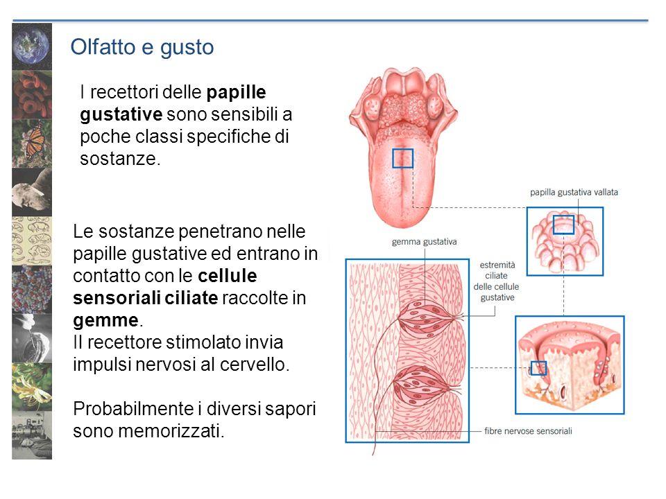 Olfatto e gusto Le sostanze penetrano nelle papille gustative ed entrano in contatto con le cellule sensoriali ciliate raccolte in gemme. Il recettore