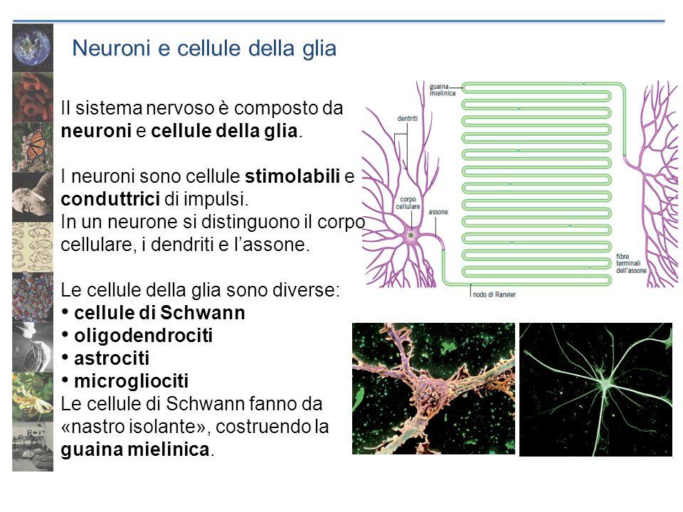 Neuroni e cellule della glia Il sistema nervoso è composto da neuroni e cellule della glia. I neuroni sono cellule stimolabili e conduttrici di impuls