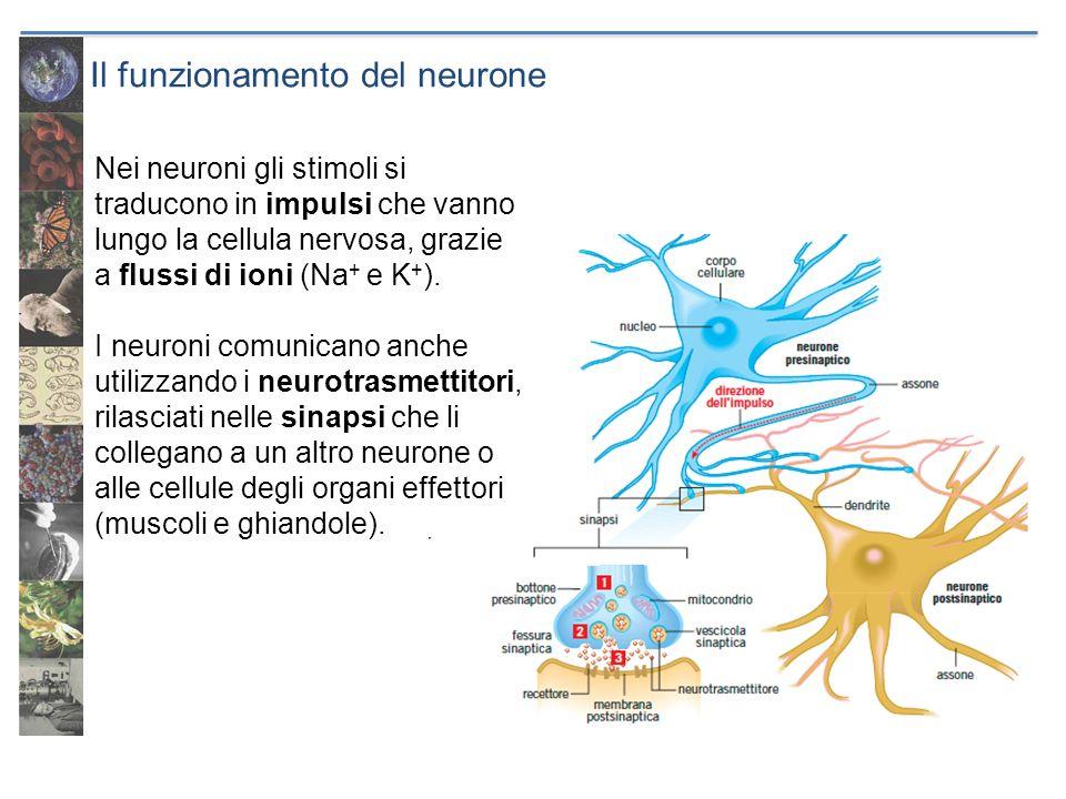 Il funzionamento del neurone Nei neuroni gli stimoli si traducono in impulsi che vanno lungo la cellula nervosa, grazie a flussi di ioni (Na + e K + )