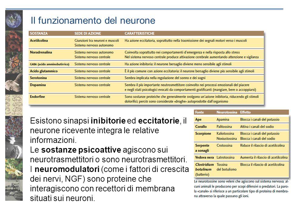 Il funzionamento del neurone Esistono sinapsi inibitorie ed eccitatorie, il neurone ricevente integra le relative informazioni. Le sostanze psicoattiv