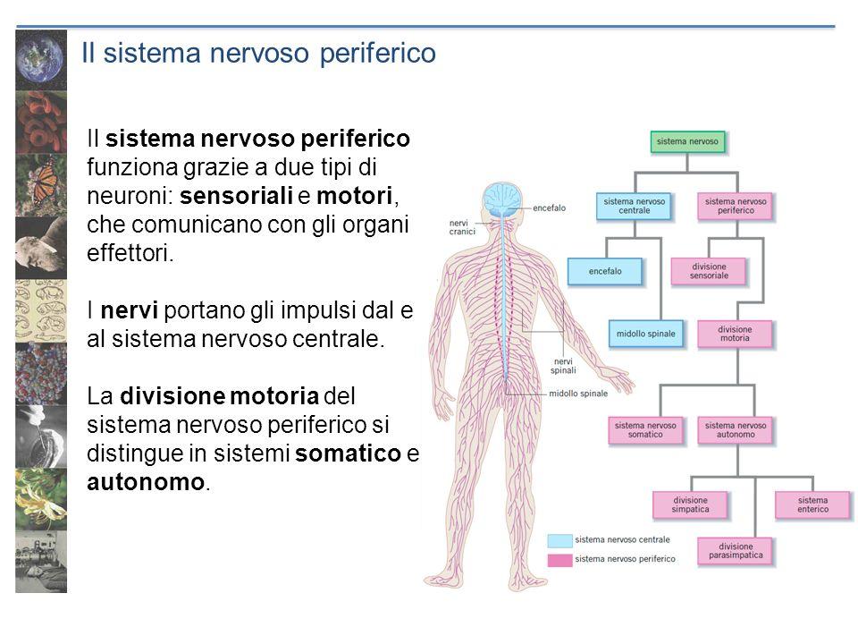 Il sistema nervoso periferico Il sistema nervoso periferico funziona grazie a due tipi di neuroni: sensoriali e motori, che comunicano con gli organi