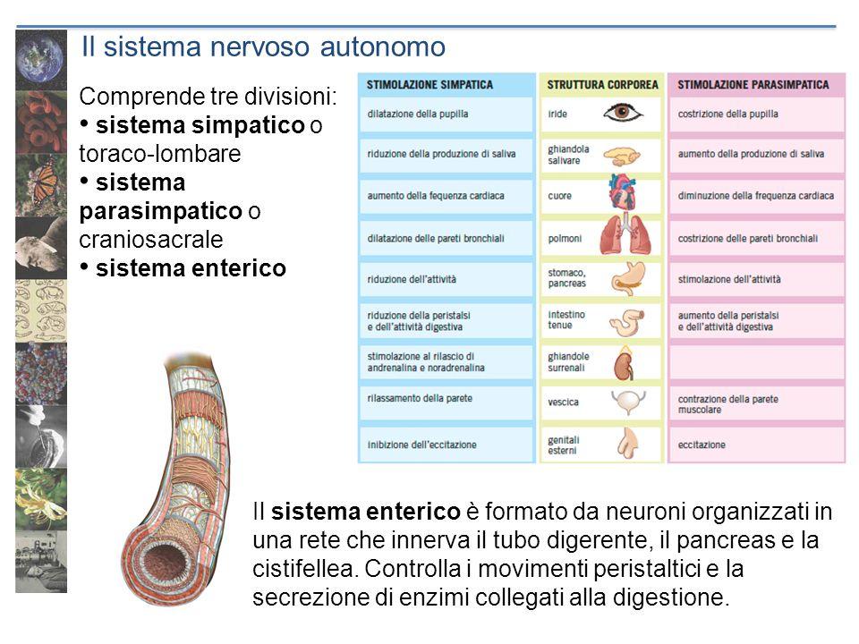 Il sistema nervoso autonomo Comprende tre divisioni: sistema simpatico o toraco-lombare sistema parasimpatico o craniosacrale sistema enterico Il sist