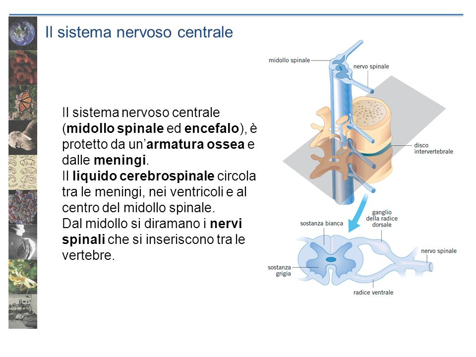 Il sistema nervoso centrale Il sistema nervoso centrale (midollo spinale ed encefalo), è protetto da unarmatura ossea e dalle meningi. Il liquido cere