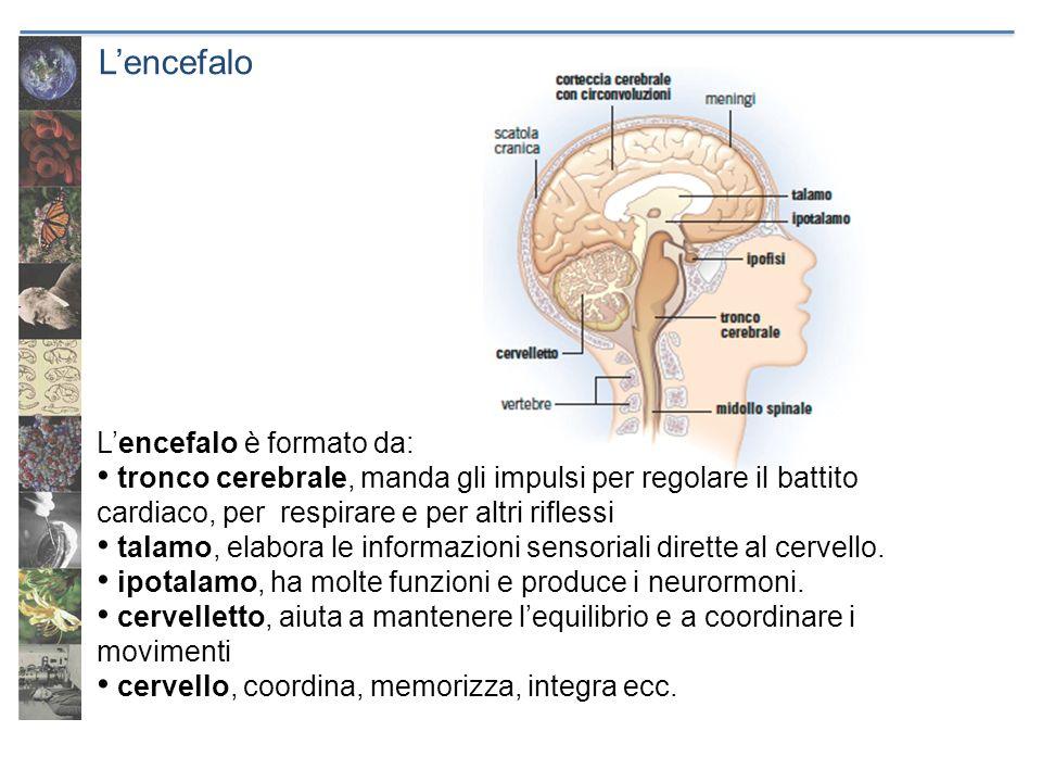 Lencefalo Lencefalo è formato da: tronco cerebrale, manda gli impulsi per regolare il battito cardiaco, per respirare e per altri riflessi talamo, ela