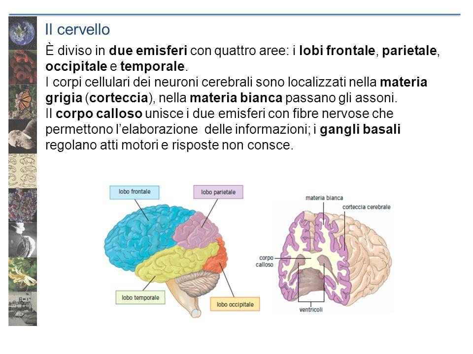 Il cervello È diviso in due emisferi con quattro aree: i lobi frontale, parietale, occipitale e temporale. I corpi cellulari dei neuroni cerebrali son