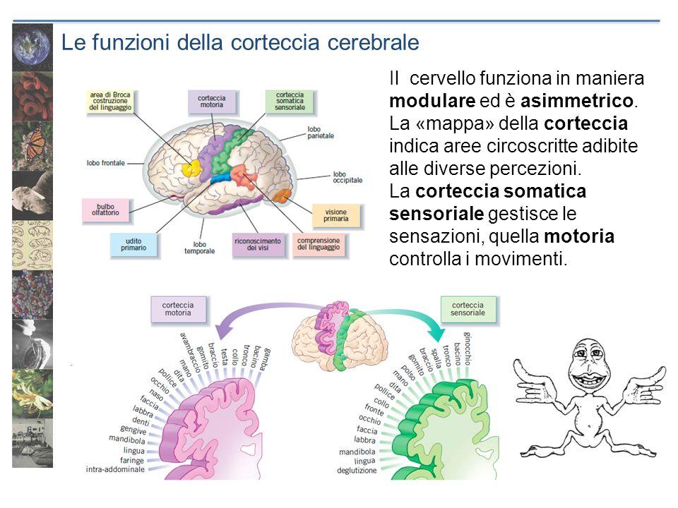 Le funzioni della corteccia cerebrale Il cervello funziona in maniera modulare ed è asimmetrico. La «mappa» della corteccia indica aree circoscritte a