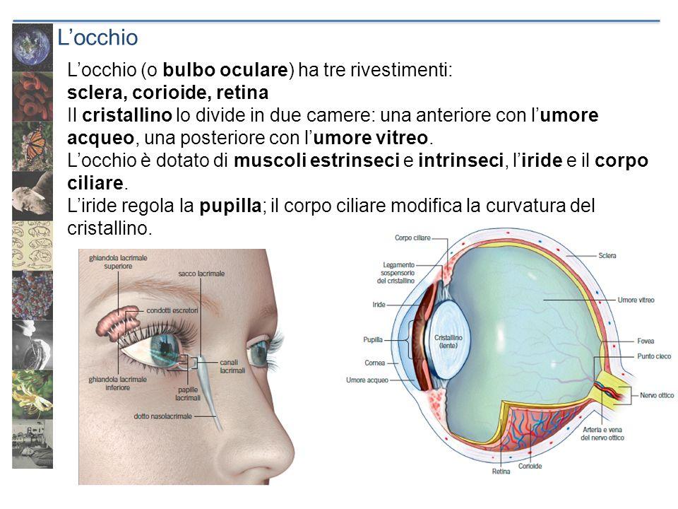 Locchio Locchio (o bulbo oculare) ha tre rivestimenti: sclera, corioide, retina Il cristallino lo divide in due camere: una anteriore con lumore acque