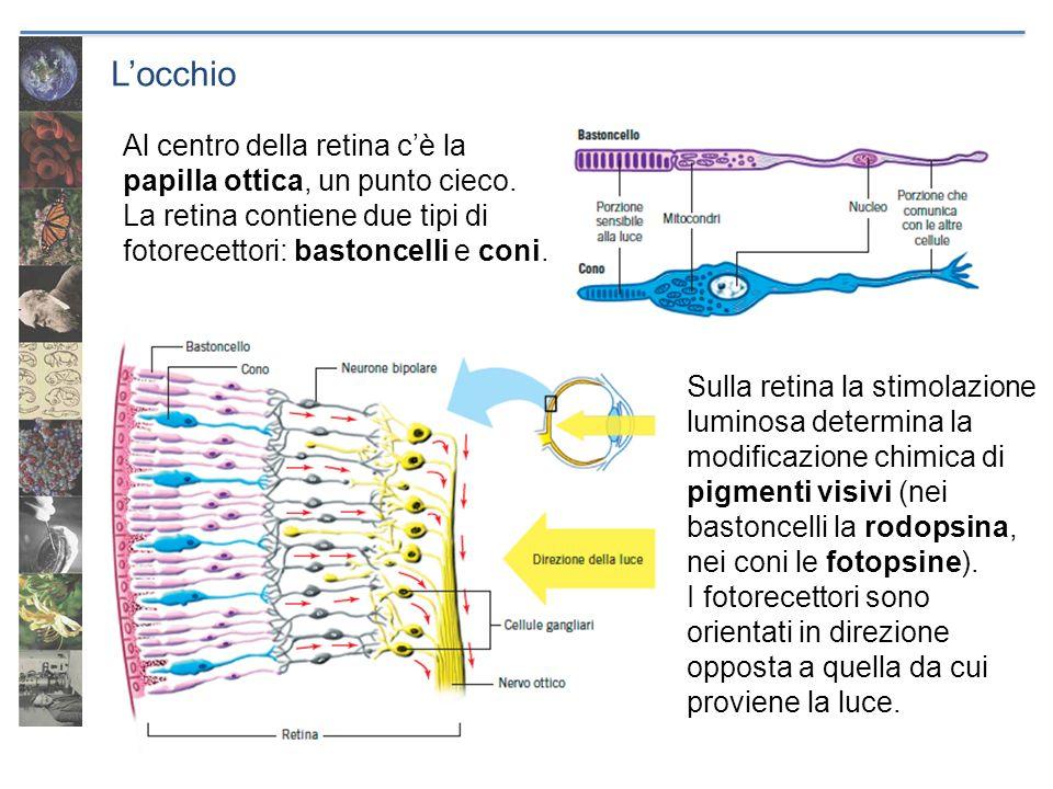 Locchio Al centro della retina cè la papilla ottica, un punto cieco. La retina contiene due tipi di fotorecettori: bastoncelli e coni. Sulla retina la