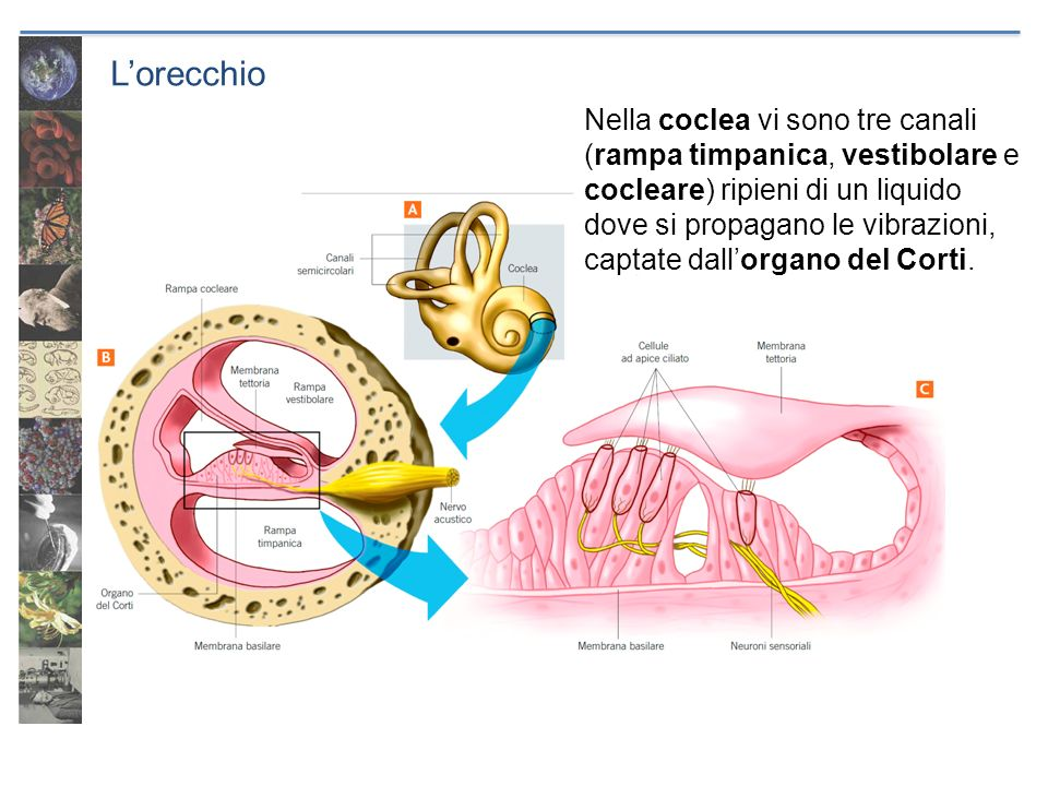 Lorecchio Nella coclea vi sono tre canali (rampa timpanica, vestibolare e cocleare) ripieni di un liquido dove si propagano le vibrazioni, captate dal