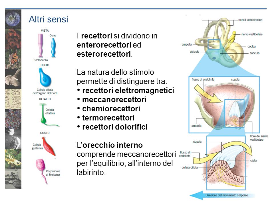Altri sensi I recettori si dividono in enterorecettori ed esterorecettori. La natura dello stimolo permette di distinguere tra: recettori elettromagne