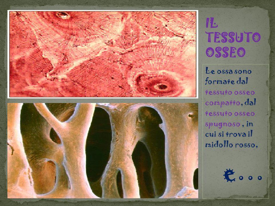 Le ossa sono formate dal tessuto osseo compatto, dal tessuto osseo spugnoso, in cui si trova il midollo rosso, e…