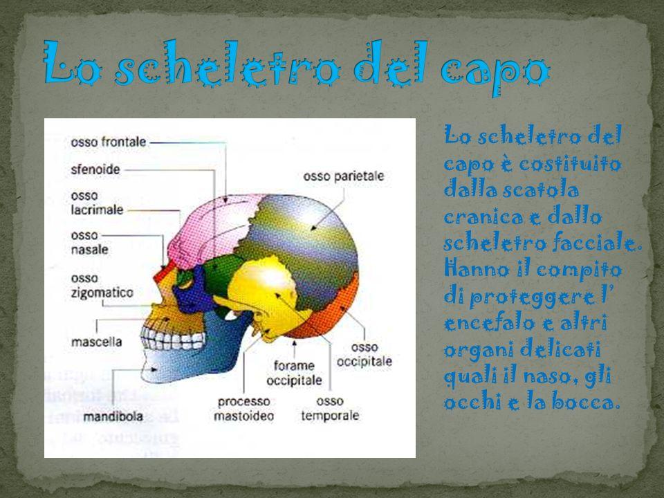 Lo scheletro del capo è costituito dalla scatola cranica e dallo scheletro facciale. Hanno il compito di proteggere l encefalo e altri organi delicati