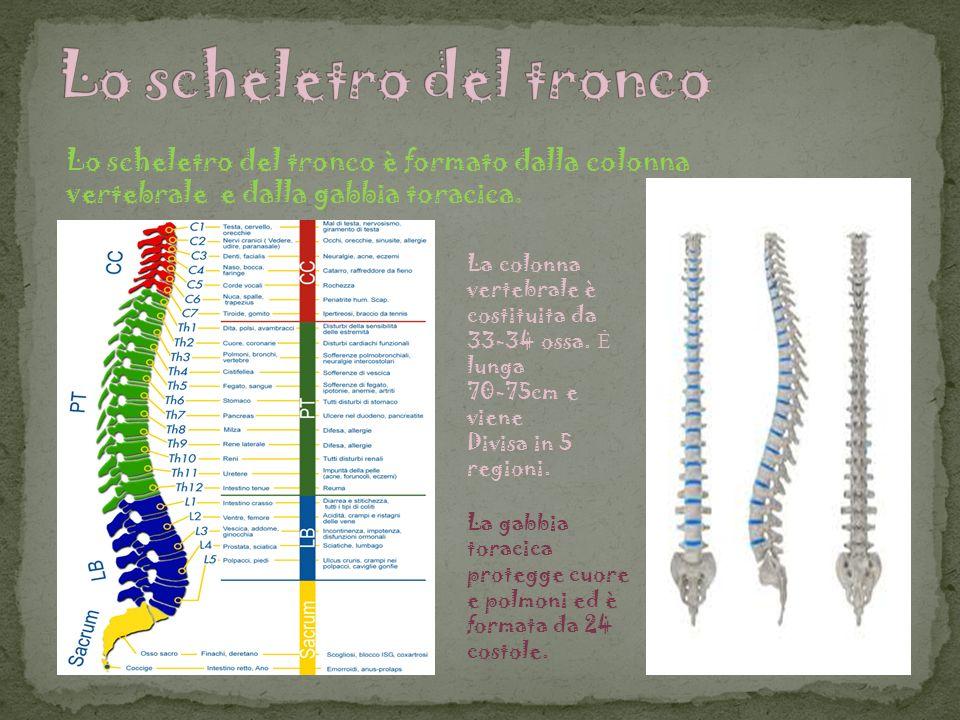 Lo scheletro del tronco è formato dalla colonna vertebrale e dalla gabbia toracica. La colonna vertebrale è costituita da 33-34 ossa. lunga 70-75cm e