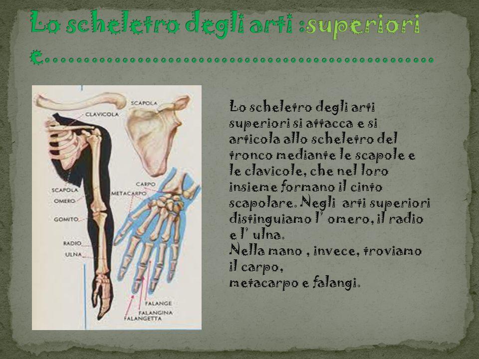 Lo scheletro degli arti superiori si attacca e si articola allo scheletro del tronco mediante le scapole e le clavicole, che nel loro insieme formano
