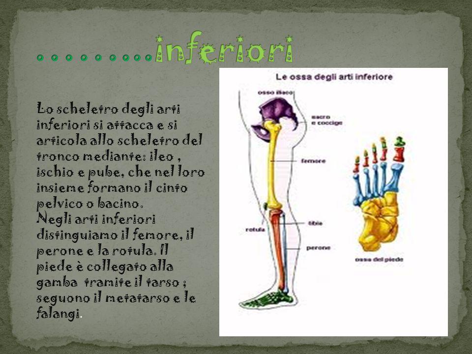 Lo scheletro degli arti inferiori si attacca e si articola allo scheletro del tronco mediante: ileo, ischio e pube, che nel loro insieme formano il ci