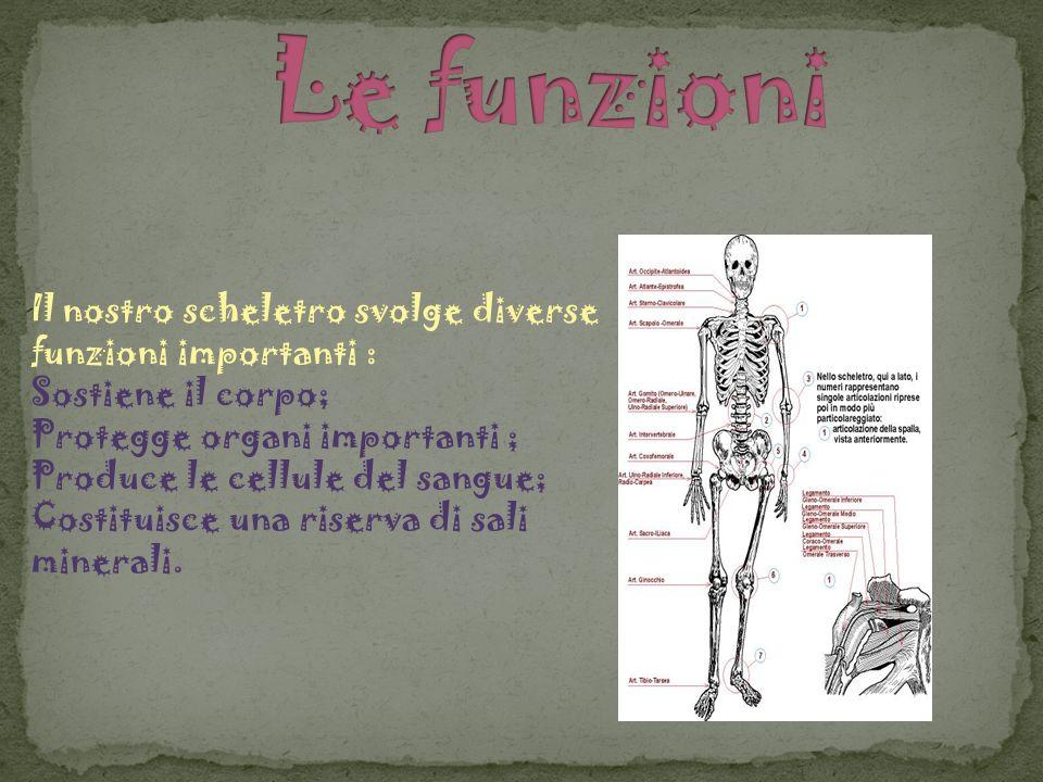 Il nostro scheletro svolge diverse funzioni importanti : Sostiene il corpo; Protegge organi importanti ; Produce le cellule del sangue; Costituisce un