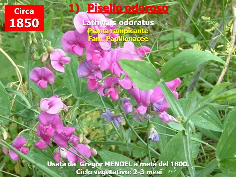 1)Pisello odoroso Lathyrus odoratus Pianta rampicante Fam. Papilionacee Usata da Gregor MENDEL a metà del 1800. Ciclo vegetativo: 2-3 mesi Ciclo veget