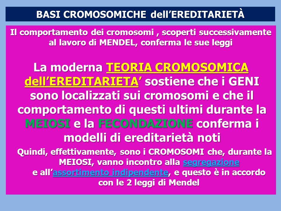 BASI CROMOSOMICHE dellEREDITARIETÀ Il comportamento dei cromosomi, scoperti successivamente al lavoro di MENDEL, conferma le sue leggi La moderna TEOR