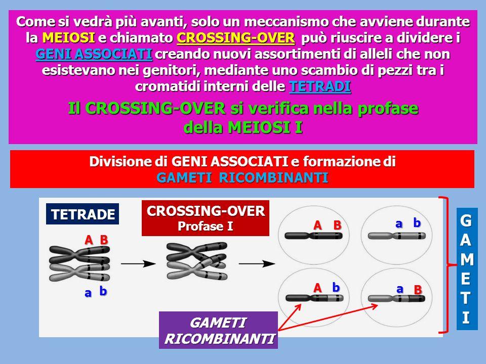 Come si vedrà più avanti, solo un meccanismo che avviene durante la MEIOSI e chiamato CROSSING-OVER può riuscire a dividere i GENI ASSOCIATI creando n