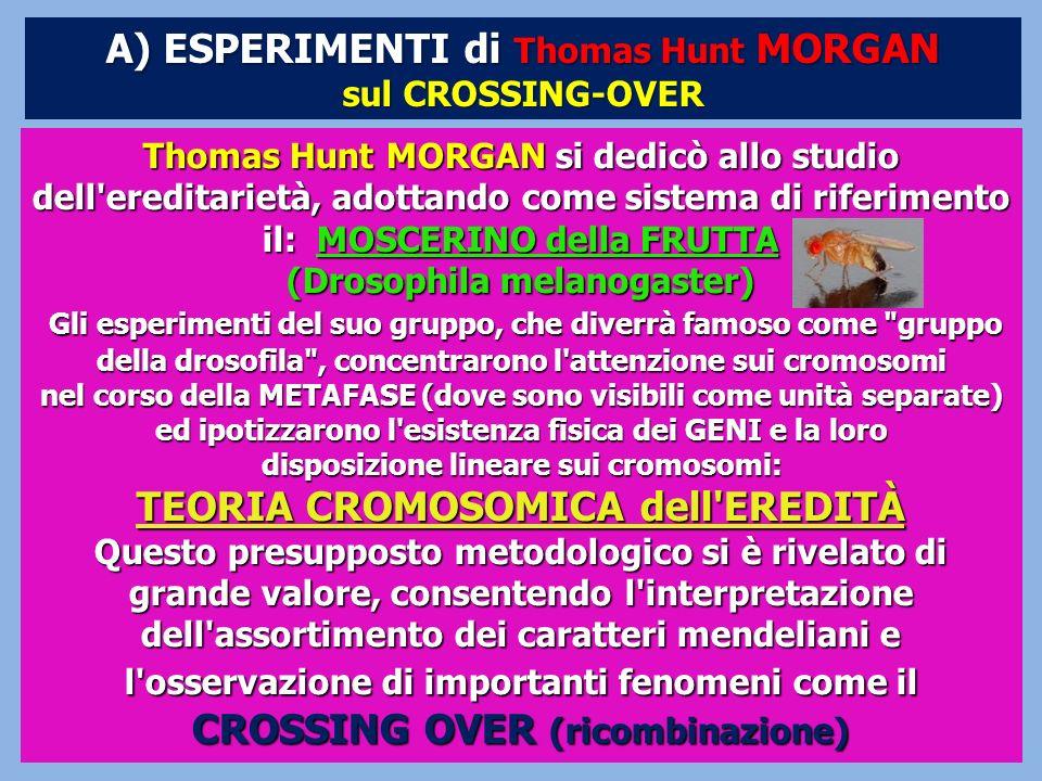 Thomas Hunt MORGAN si dedicò allo studio dell'ereditarietà, adottando come sistema di riferimento il: MOSCERINO della FRUTTA (Drosophila melanogaster)