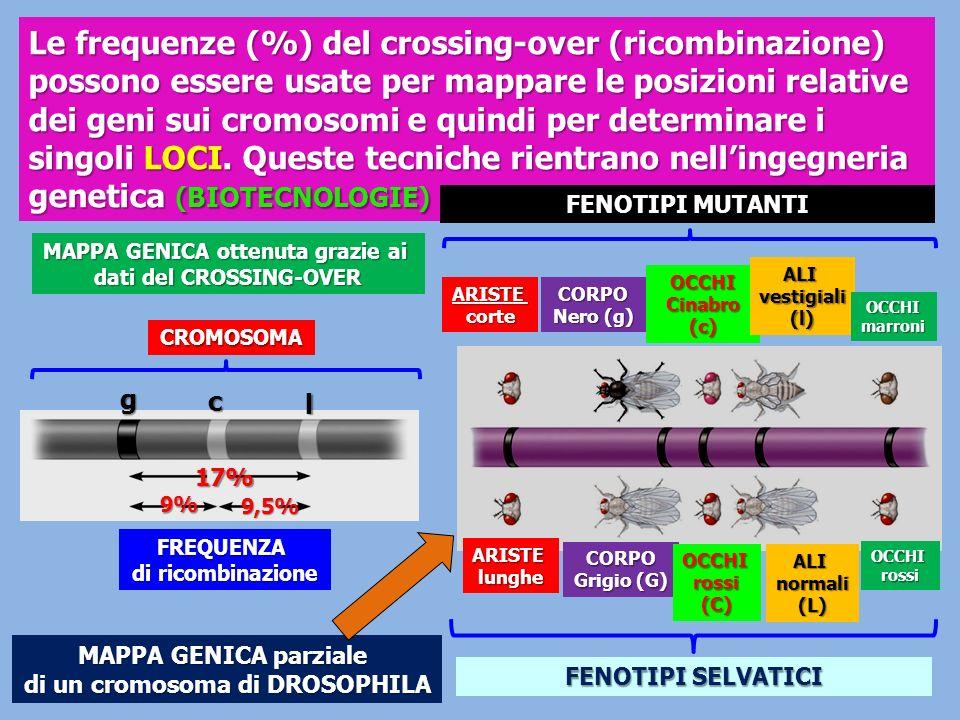 Le frequenze (%) del crossing-over (ricombinazione) possono essere usate per mappare le posizioni relative dei geni sui cromosomi e quindi per determi