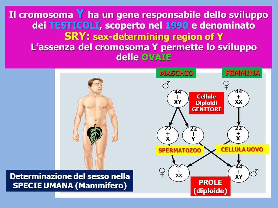 Il cromosoma Y ha un gene responsabile dello sviluppo dei TESTICOLI, scoperto nel 1990 e denominato SRY: sex-determining region of Y Lassenza del crom
