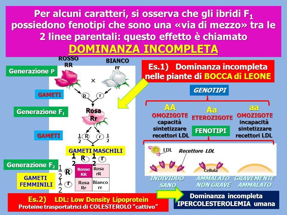 Diagramma originale del crossing-over del crossing-over di MORGAN e STURTEVANT MAPPATURA dei GENI I genetisti usano il crossing-over per la MAPPATURA dei geni MORGAN ed i suoi allievi (Alfred Henry STURTEVANT) per primi, usarono i dati relativi al crossing-over per la mappatura dei geni nella Drosophila Tanto più alta è la % di ricombinazioni e tanto più distanti saranno i geni (locus) sul cromosoma