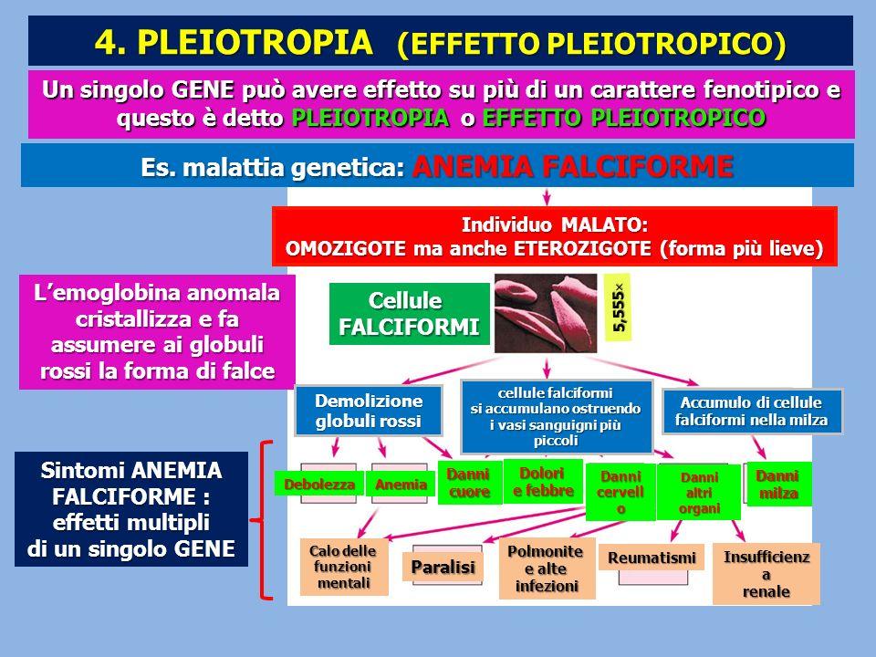Un singolo GENE può avere effetto su più di un carattere fenotipico e questo è detto PLEIOTROPIA o EFFETTO PLEIOTROPICO Sintomi ANEMIA FALCIFORME : ef