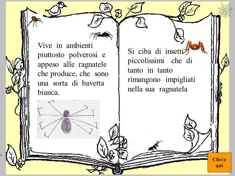 ragno1 Il ragno che ho osservato ha dimensioni molto piccole. E formato da una piccola testa pelosa su cui appaiono gli occhi. Il corpo è di forma ova