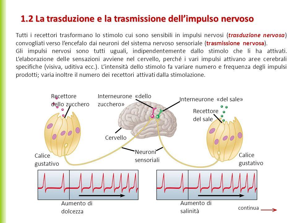 Tutti i recettori trasformano lo stimolo cui sono sensibili in impulsi nervosi (trasduzione nervosa) convogliati verso lencefalo dai neuroni del siste