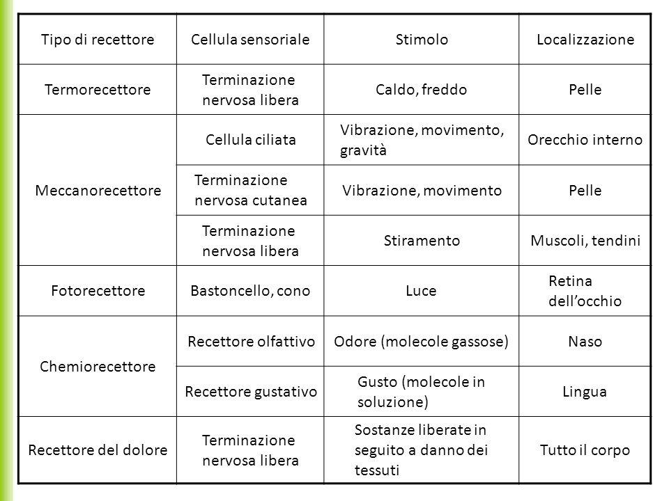 1.1 I recettori sensoriali Tipo di recettoreCellula sensorialeStimoloLocalizzazione Termorecettore Terminazione nervosa libera Caldo, freddoPelle Mecc