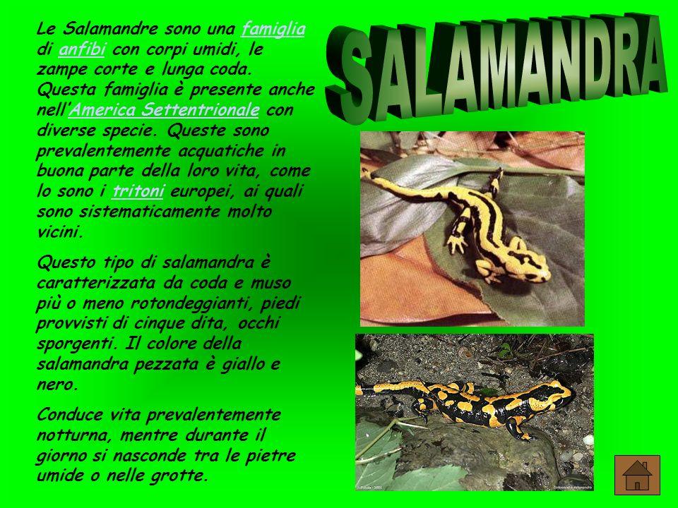 Le Salamandre sono una famiglia di anfibi con corpi umidi, le zampe corte e lunga coda.