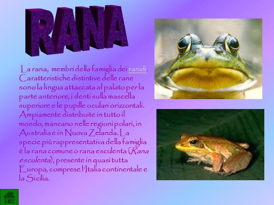 La rana, membri della famiglia dei ranidi. Caratteristiche distintive delle rane sono la lingua attaccata al palato per la parte anteriore, i denti su