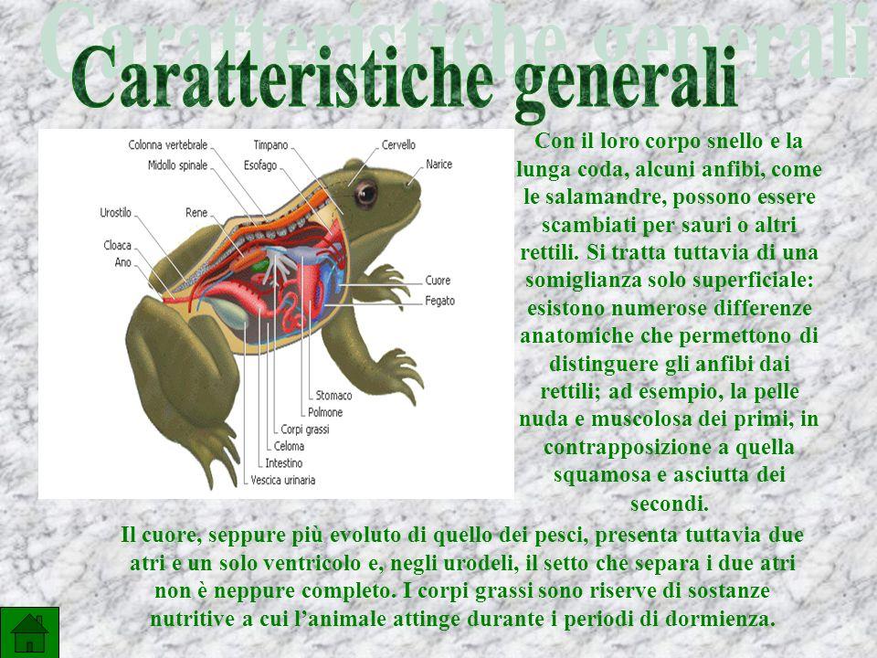 Il cuore, seppure più evoluto di quello dei pesci, presenta tuttavia due atri e un solo ventricolo e, negli urodeli, il setto che separa i due atri non è neppure completo.