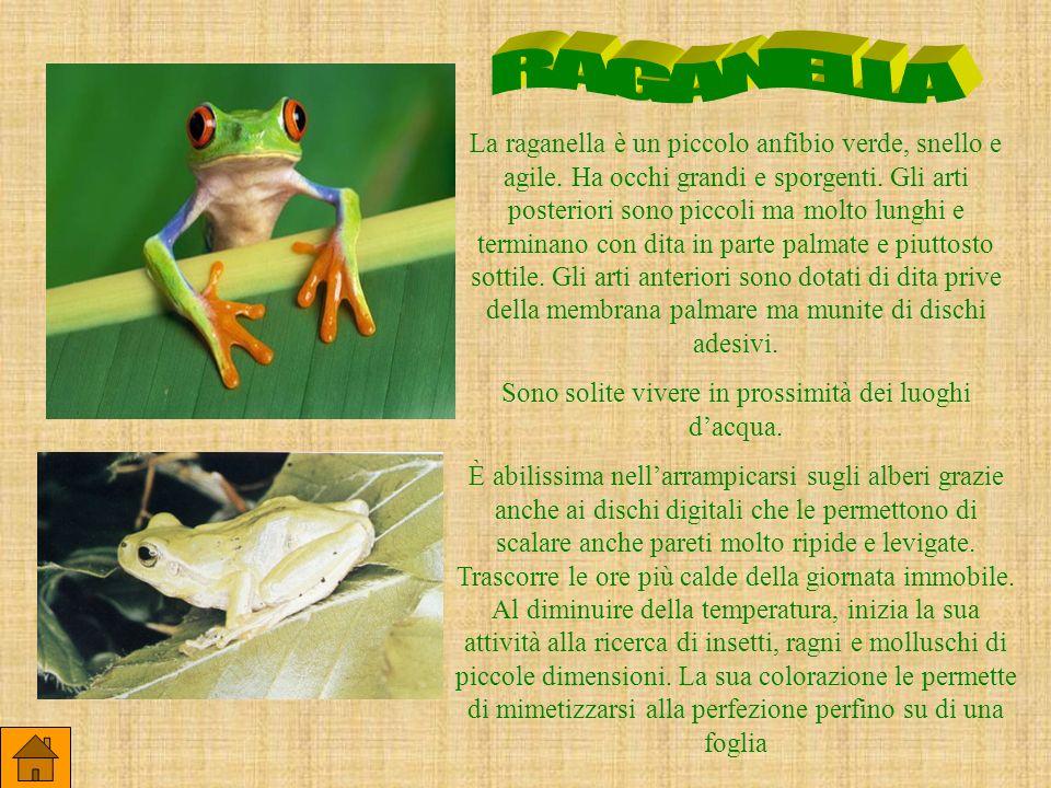 La raganella è un piccolo anfibio verde, snello e agile. Ha occhi grandi e sporgenti. Gli arti posteriori sono piccoli ma molto lunghi e terminano con