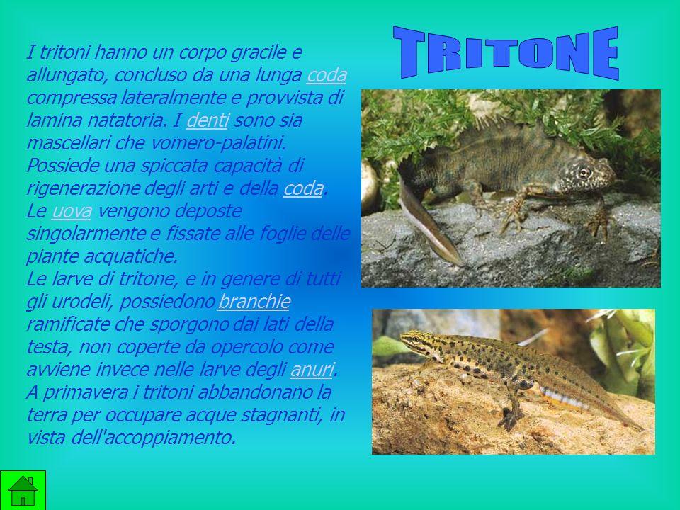 I tritoni hanno un corpo gracile e allungato, concluso da una lunga coda compressa lateralmente e provvista di lamina natatoria.
