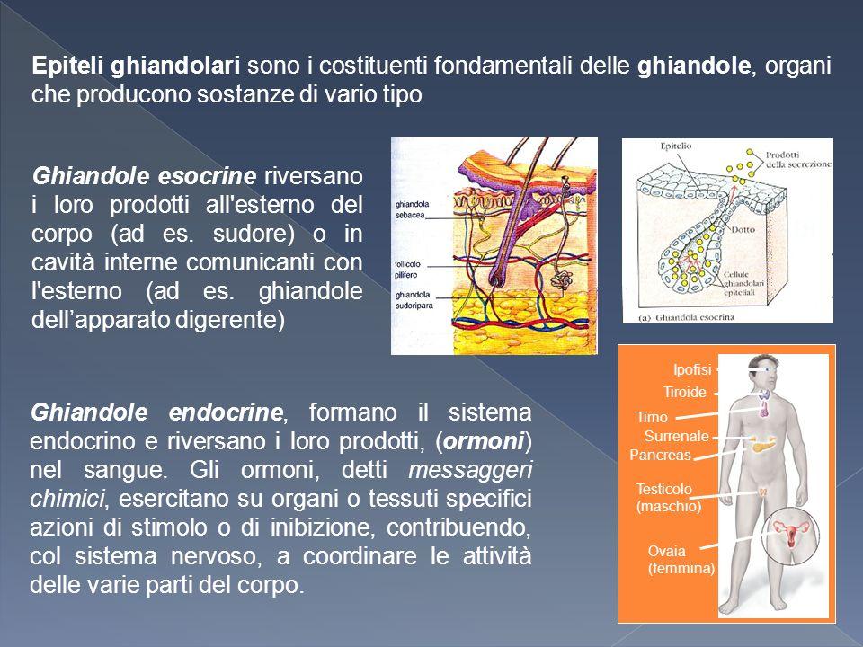 Epiteli ghiandolari sono i costituenti fondamentali delle ghiandole, organi che producono sostanze di vario tipo Ghiandole esocrine riversano i loro prodotti all esterno del corpo (ad es.