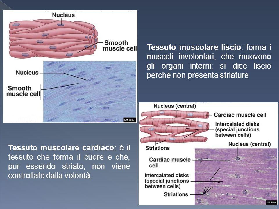 Tessuto muscolare liscio: forma i muscoli involontari, che muovono gli organi interni; si dice liscio perché non presenta striature Tessuto muscolare cardiaco: è il tessuto che forma il cuore e che, pur essendo striato, non viene controllato dalla volontà.