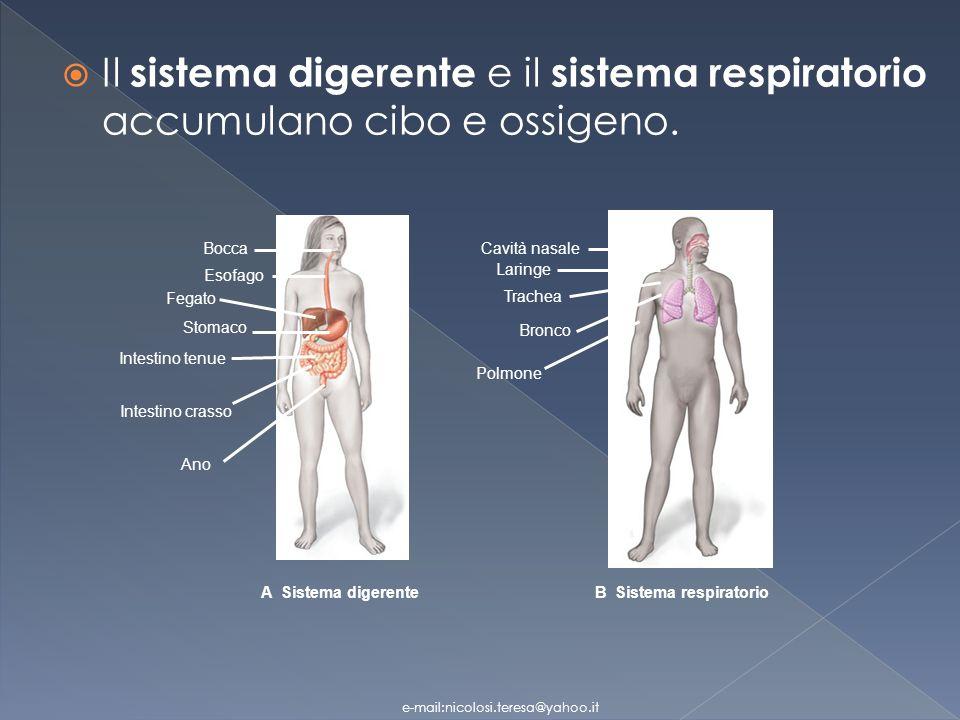 Le cellule del tessuto nervoso Neuroni: trasmettono linformazione Cellule della Neuroglia: (1) sostengono il tessuto nervoso (2) forniscono nutrienti ai neuroni