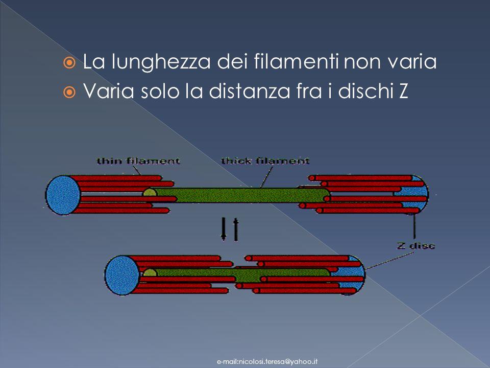 La lunghezza dei filamenti non varia Varia solo la distanza fra i dischi Z e-mail:nicolosi.teresa@yahoo.it