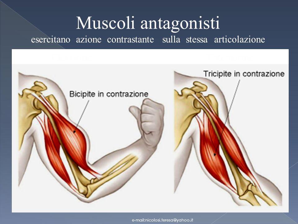 Muscoli antagonisti esercitano azione contrastante sulla stessa articolazione e-mail:nicolosi.teresa@yahoo.it