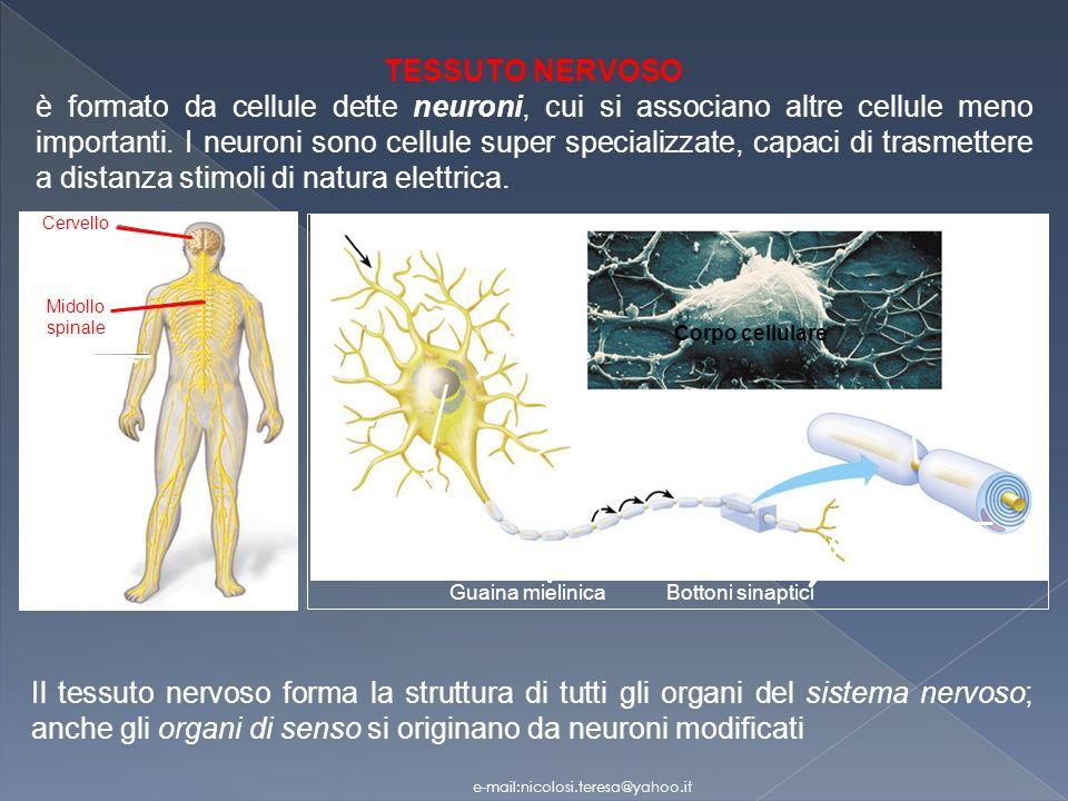 TESSUTO NERVOSO è formato da cellule dette neuroni, cui si associano altre cellule meno importanti.