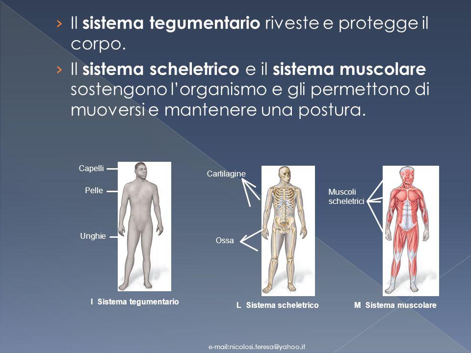Il sistema tegumentario riveste e protegge il corpo.