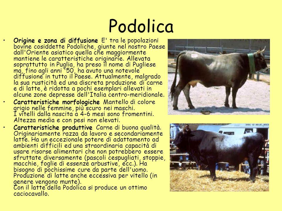Podolica Origine e zona di diffusione E' tra le popolazioni bovine cosiddette Podoliche, giunte nel nostro Paese dall'Oriente asiatico quella che magg