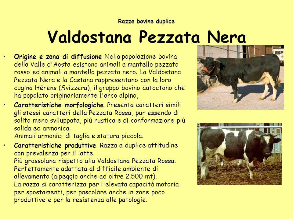 Razze bovine duplice Valdostana Pezzata Nera Origine e zona di diffusione Nella popolazione bovina della Valle d'Aosta esistono animali a mantello pez