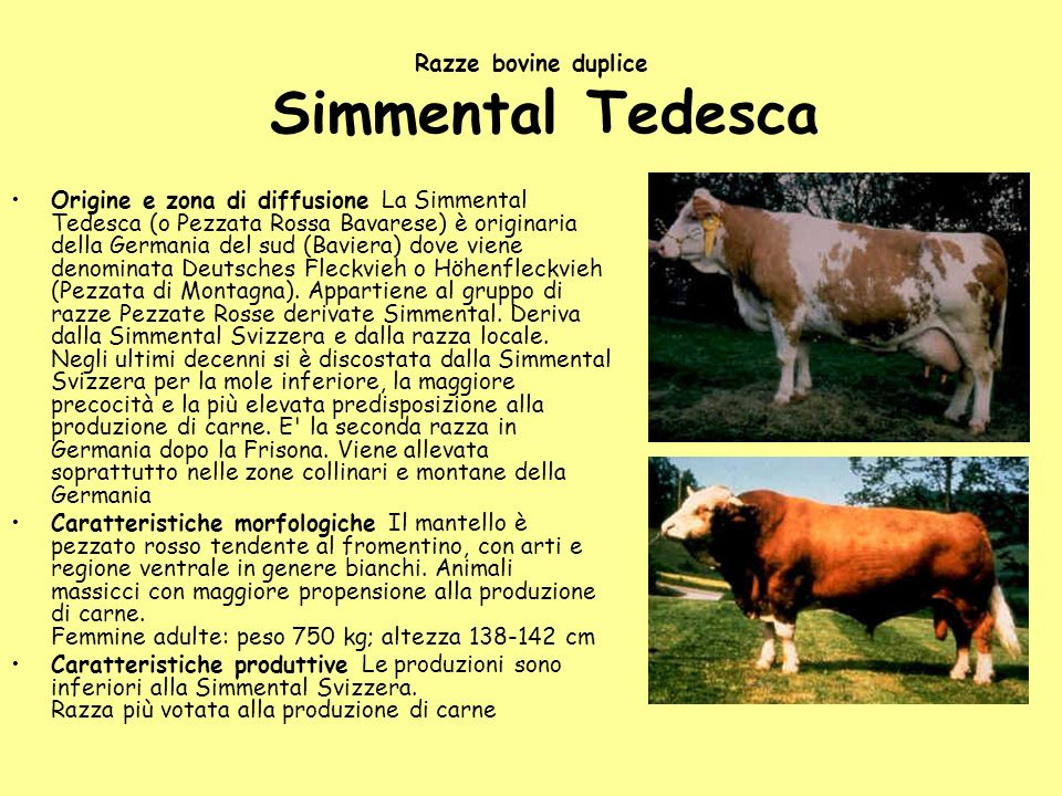 Razze bovine duplice Simmental Tedesca Origine e zona di diffusione La Simmental Tedesca (o Pezzata Rossa Bavarese) è originaria della Germania del su