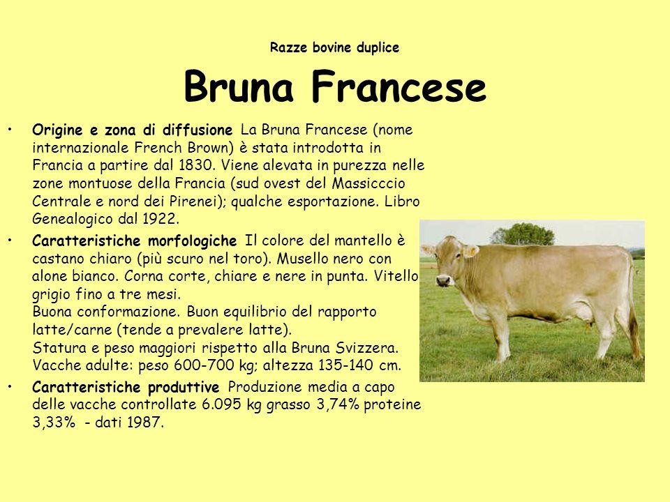 Razze bovine duplice Bruna Francese Origine e zona di diffusione La Bruna Francese (nome internazionale French Brown) è stata introdotta in Francia a